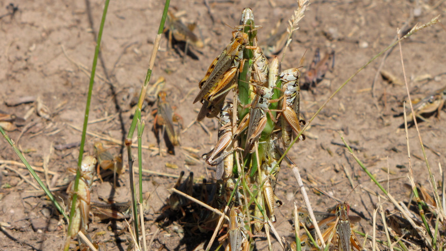 WESTERN USA HIT BY SCORCHING HEAT, DROUGHT AND WILDFIRES–GRASSHOPPER PLAGUES NEXT?